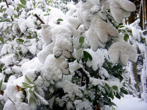 All of the laurel leaves are heavily burdened by the huge dump of snow all day.